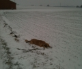 hund_i_sneen
