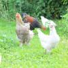 Skal du have høns?
