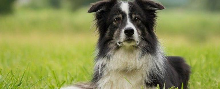 Border Collie – den perfekte hund til livet på landet