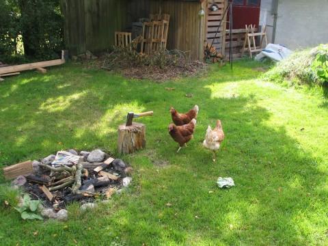 høns ved huggeblokken