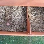 nyt æg fra høne