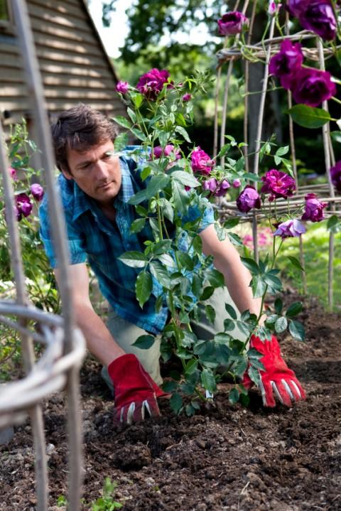 Rose ved at blive plantet i rosenbed i haven