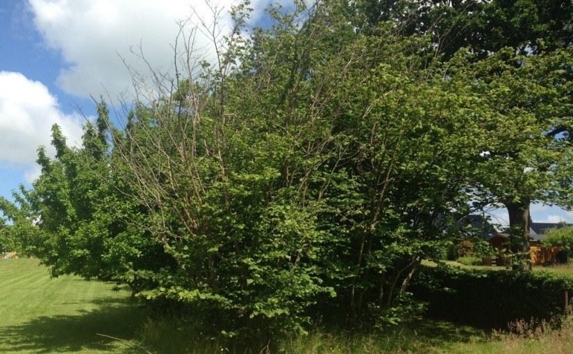 Når nøddetræerne går ud